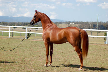 GE Arab chestnut stand dainty head by Chunga-Stock