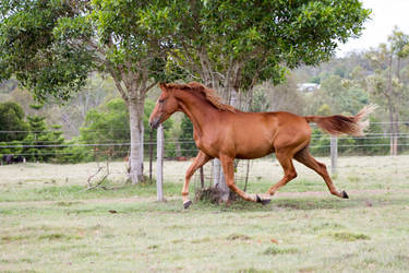 Dn wb chestnut side view all legs elevated by Chunga-Stock