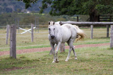 Dn white pony walking front view by Chunga-Stock