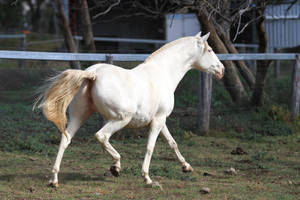 HH Lusitano trot view from behind by Chunga-Stock