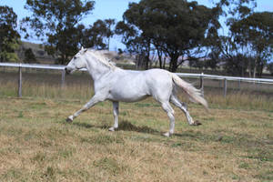 HH Grey Andy Stallion canter side view by Chunga-Stock