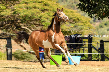 VR Pinto canter head up side front view by Chunga-Stock