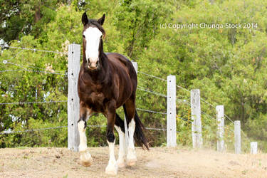 Brumby/Clydie trot front on by Chunga-Stock