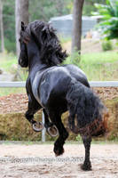 E Friesian leaping big canter view from behind by Chunga-Stock