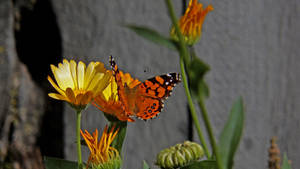 2012 October 15 1410.  Butterfly on Marigold by AAAHartvisen