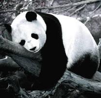 Panda by Lumpichu