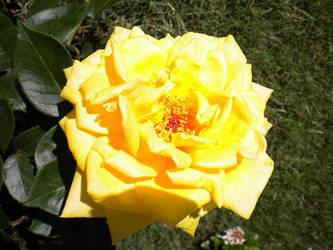 Sunny Rose by terrahachi