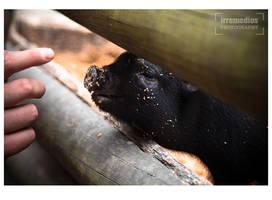 a piglet by irremedios