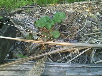 Potato plant in guerrilla garden by railroad track by caspercrafts