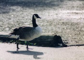 Goose by Nicerella
