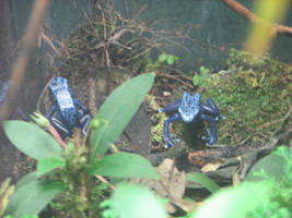 Shedd Aquarium Blue Frogs by QuantumEcho