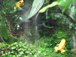 Shedd Aquarium Yellow Frogs by QuantumEcho