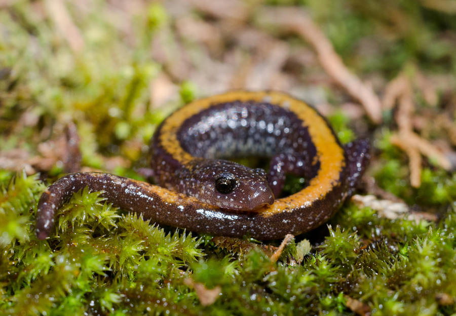 Plethodon angusticlavius by michael-ray