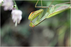 Mantis by Shiranui