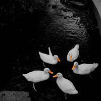Ducks Pentagram by HaruNiji