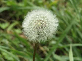 Dandelion seed head by KazarSanaga
