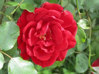 Red Rose by KazarSanaga