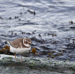 Come on plover by TheBrassGlass