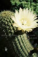 .cactus. by snyfrinx