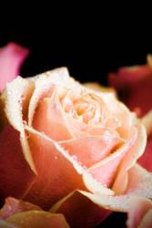 Roses 5 by robertllynch