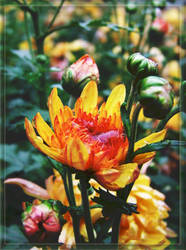 Intense  Chrysanthemum by queely
