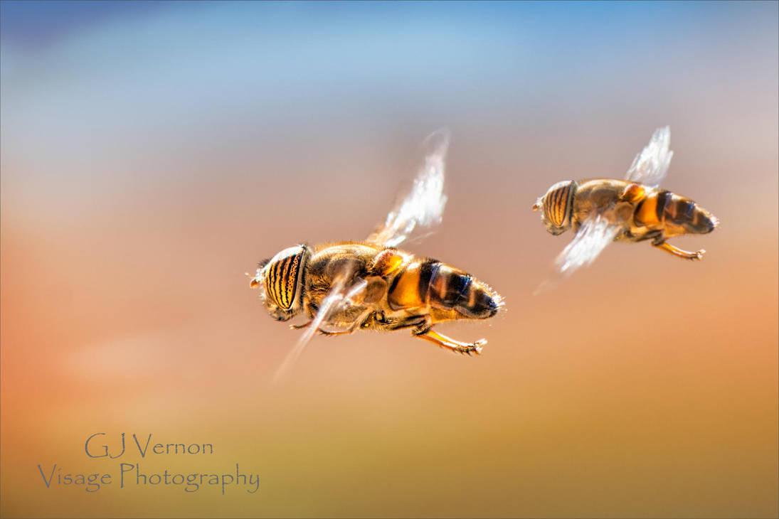Tandem Hoverflies by GJ-Vernon