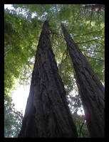 Redwood Giants 2 by jeepgurl8204