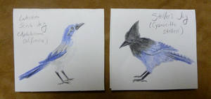 Cards: Scrub Jay + Steller's Jay by lupagreenwolf