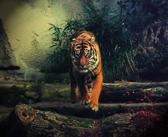 Walking Tiger4 by barbranz