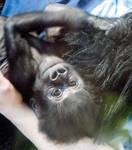 Awwwww....a baby gorilla by sequential
