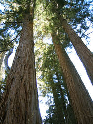 Redwood Forest 2 by Dori-Stock