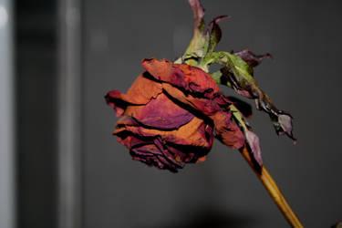 Dead rose by MissKyr