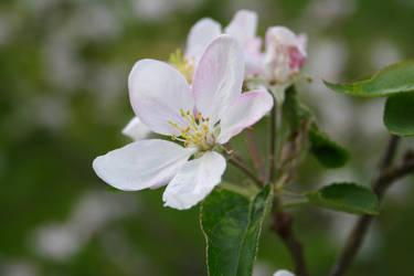 Apple blossom by MissKyr