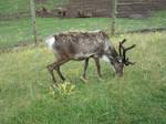 Renne (reindeer) - stock 02 by ellianounoursblanc