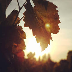 Vine by ellianounoursblanc