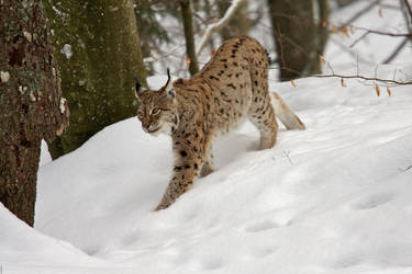 Lynx in the forest by Tygrik