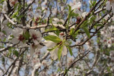 Almond's flowers I by Anatollis