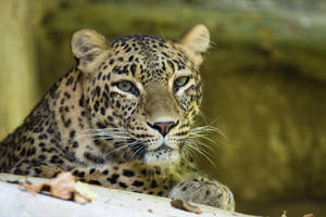 3920 - Persian Leopard by Jay-Co