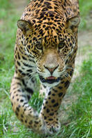 4065 - Jaguar by Jay-Co