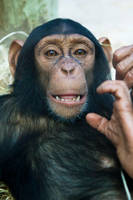 7013 - chimpanzee by Jay-Co