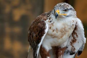 8100 - Ferruginous Hawk by Jay-Co