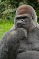 8133 - Gorilla by Jay-Co