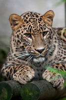 0254 - Persian leopard by Jay-Co