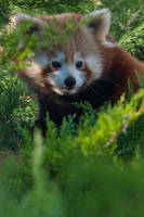 2336 - Red Panda by Jay-Co