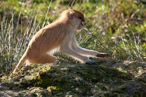 2482 - Patas monkey by Jay-Co