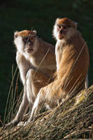 2500 - Patas monkeys by Jay-Co