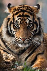 4427 - Sumatran Tiger by Jay-Co
