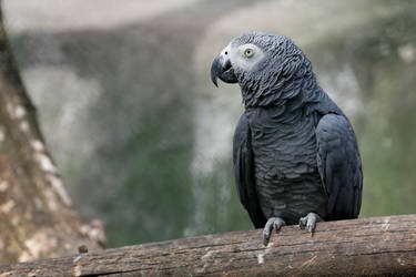 African Grey Parrot by Jay-Co