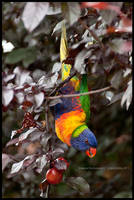 Rainbow lorikeet by Dominion-Photography