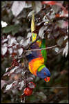 Rainbow lorikeet by Dominion-Photography